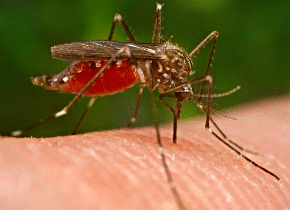 malaria1