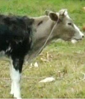 Vaca pintada 2