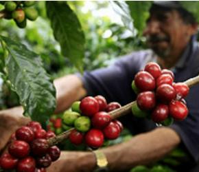 Crece producción cafetera