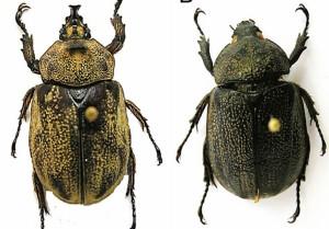Descubren en Colombia nueva especie de escarabajo